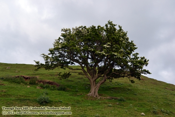 cushendall fairy tree near crockatinney guest house ballycastle giants causeway